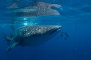 Credit: Conor Goulding/Mote Marine Laboratory