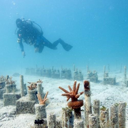 Coral Reef Restoration Research Programs Mote Marine
