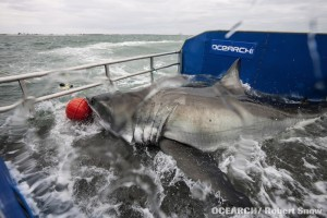 Mote to join OCEARCH shark tagging expedition