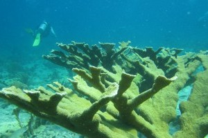 NOAA Fisheries publishes recovery plan for threatened corals, Mote contributes