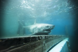 White shark scientists strike gold