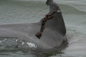 Feeding wild dolphins can hurt them, new study says