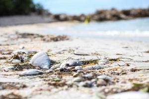 Independent scientists applaud progress toward increased federal funding to address red tide