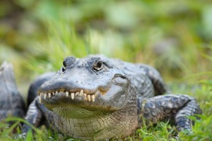 The Teeth Beneath: The Wild World of Gators, Crocs and Caimans