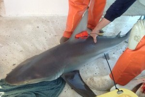 Mote scientists use iPhone-quality motion sensors to study survival of caught-and-released sharks