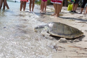 Endangered turtle released after recovering from fishing gear entanglement