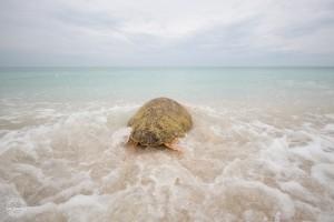 Mote releases turtle off Nokomis beach