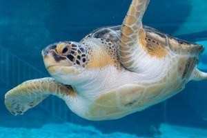 Sea Turtles: Ancient Survivors