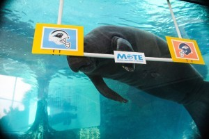 Mote Manatees predict Super Bowl 50 winner