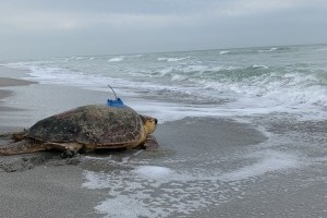 Goodbye, Connor! Sea turtle release on Longboat Key