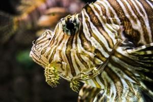 6th Annual Sarasota Lionfish Derby