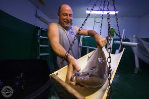 Check this out! Mote aquaculture research featured nationally on CBS