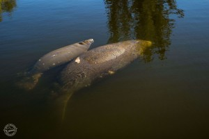 Manatee misconceptions to make you laugh and think