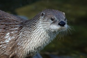 Otters coming in 2016 to Mote Aquarium in Sarasota