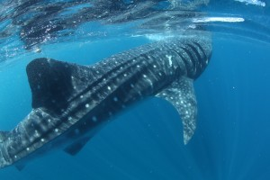 Social distancing may be new for humans, not so much for whale sharks