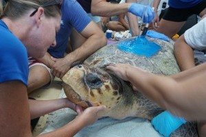 Tagging along with sea turtles
