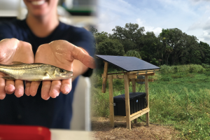 New snook-monitoring antenna will expand fisheries data for Phillippi Creek system