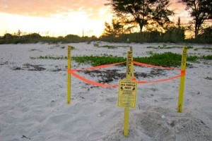 Sea Turtle Nesting Season has started!