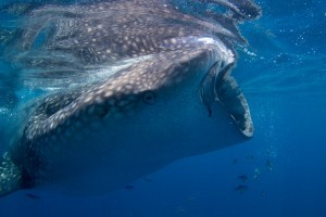 Mote scientists tag two whale sharks