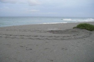 Sea turtle nesting season to start May 1