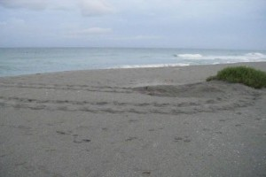 Mote's Sea Turtle Patrol to start monitoring local beaches April 15